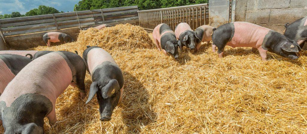 Schwäbisch Hällische Landschweine auf dem Stroh