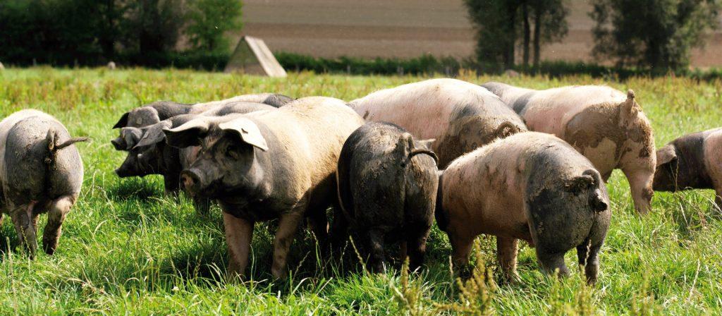Schwäbisch Hällische Landschweine